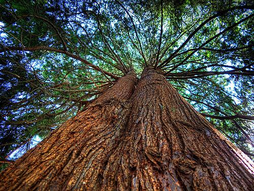 Red Cedar Tree ~ Reasons why western red cedar is your friend summerstyle